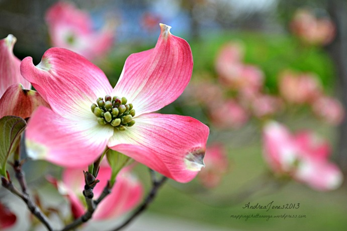 Dogwoods are in bloom!